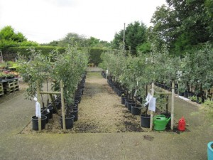 Fruit trees to be planted